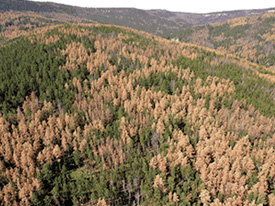 another forrest damage by bark beetles