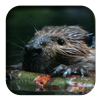 link to American Beaver sound
