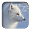 link to Arctic Fox sound