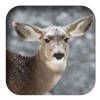 link to Mule Deer sound